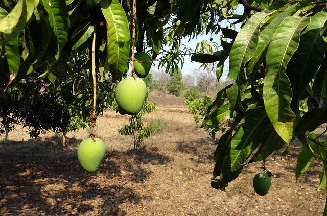 World's first mango-picking robot being used in central Queensland