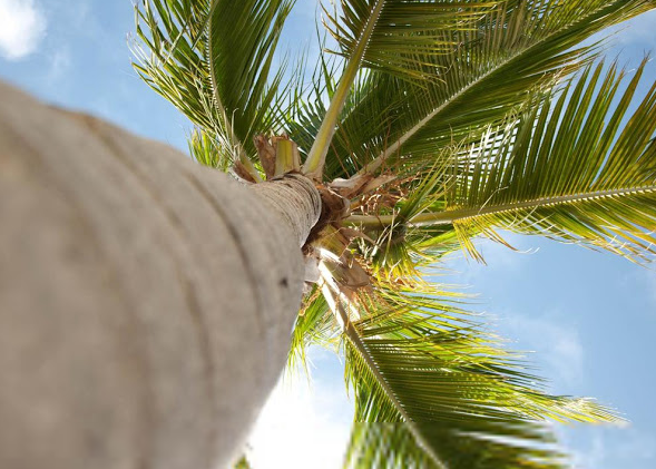 Phoenix Palm Tree Trimming & Removal