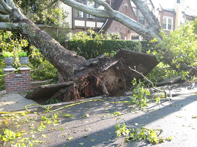 An uprooted tree from a hurricane cleanup in Orlando Florida.